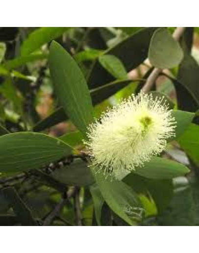 Cajeput etherische olie-Herbacos 10 ml
