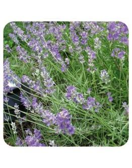 Lavendel Mont Blanc 38/40 etherische olie-Herbacos 10 ml