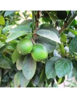 Limette etherische olie-Herbacos 10 ml