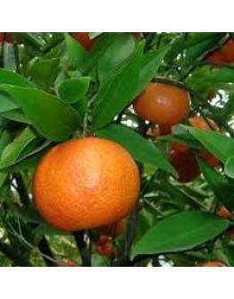 Mandarijn rood etherische olie-Herbacos 10 ml
