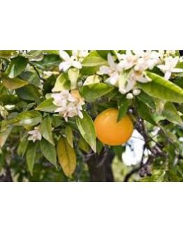 Petitgrain bittere sinaasappelblad etherische olie-Herbacos 10 ml