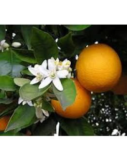 Sinaasappel 7-maal gedestilleerd etherische olie-Herbacos 10 ml