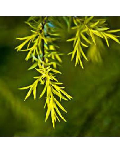 Tea tree wildpluk etherische olie-Herbacos 10 ml