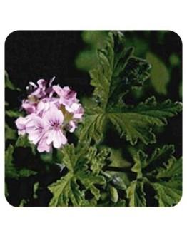 Geranium African bio etherische olie-Sjankara 11 ml