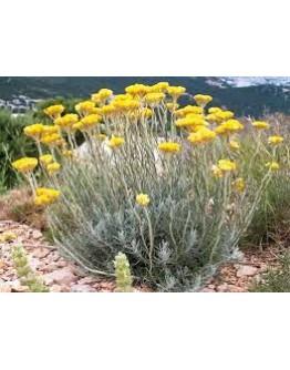 Strobloem Italicum bio etherische olie-Sjankara 5 ml