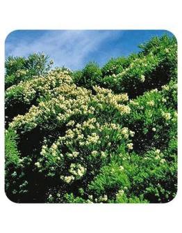 Tea tree bio etherische olie-Pranarôm 10 ml