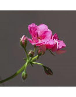 Geranium roos Egypte etherische olie-Pranarôm 10 ml