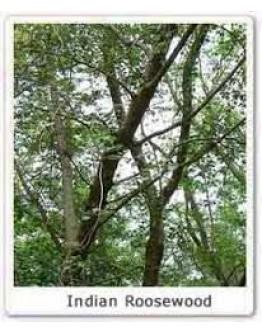 Rozenhout blad bio etherische olie-Pranarôm 10 ml