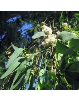 Citroen eucalyptus etherische olie-Vanhove 11 ml