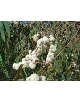 Eucalyptus radiata etherische olie-Vanhove 11 ml
