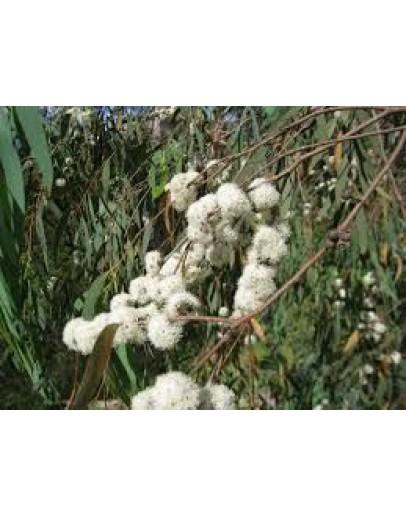 Eucalyptus radiata etherische olie-Pranarôm 10 ml