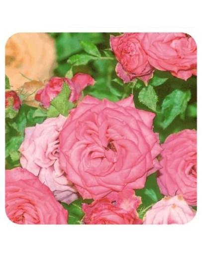 Roos Damascena etherische olie-Pranarôm 2 ml