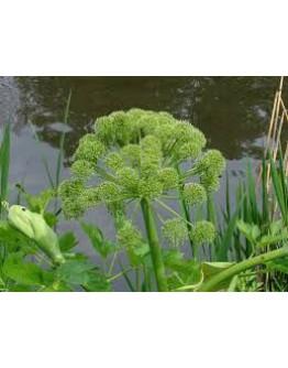 Groot engelwortel bio tinctuur-Ladrôme 50 ml