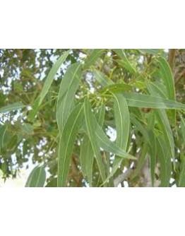 Eucalyptus bio tinctuur-Ladrôme 50 ml