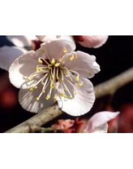 Abrikozenpitolie geraffineerd-Herbacos 100 ml