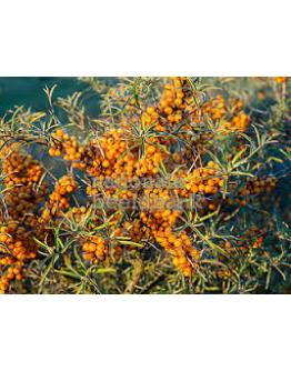 Duindoorn vruchtvleesolie wildgroei koudgeperst-Herbacos 10 ml