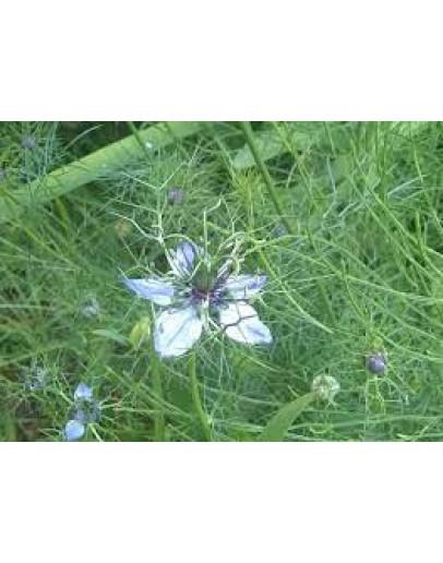 Zwarte Komijnzaadolie Nigella Sativa Bio koudgeperst-Herbacos 50 ml